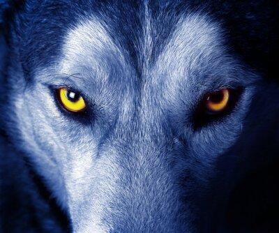 Sticker beaux yeux d'un loup sauvage.