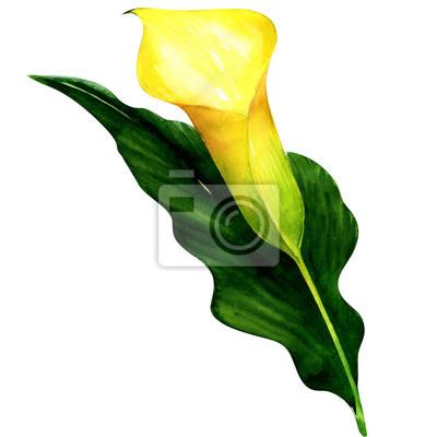 Belle calla jaune isolé