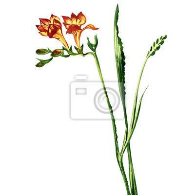 Belle fleur de freesia isolé, peinture à l'aquarelle