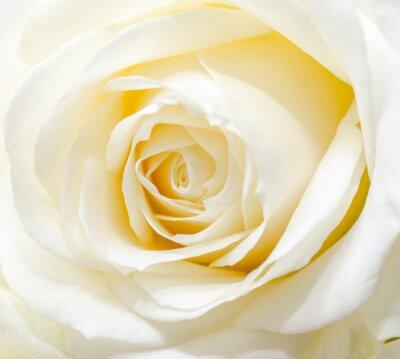 Sticker Belle rose blanche