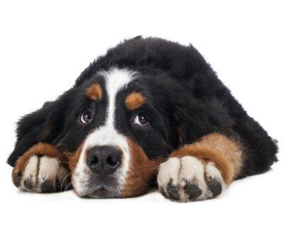 Sticker Berner Sennenhund sur un fond blanc en studio, chien triste
