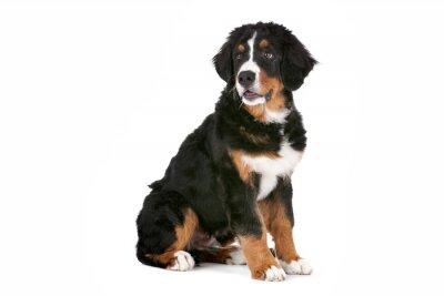 Sticker Bernois chiot de chien de montagne