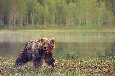 Sticker BIG BEAR marche mâle dans la tourbière au coucher du soleil