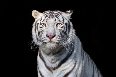 Sticker Blanc, bengale, tigre, noir, fond La bête la plus dangereuse montre sa grandeur calme. Beauté sauvage d'un grand chat sévère.