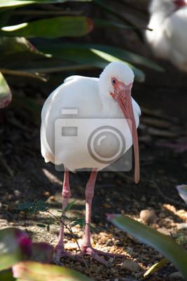 Blanc, ibis, ombre, feuilles, Miami, Floride