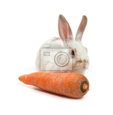 Blanc petit lapin