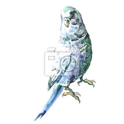 Bleu ondulée perroquet isolé, peinture à l'aquarelle
