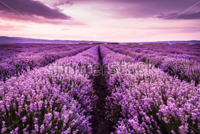 Sticker Blooming lavender field under the purple colors of the summer sunset