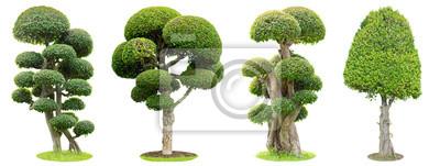 Sticker Bonsaïs isolés sur fond blanc. Son arbuste est cultivé dans un pot ou un arbre d'ornement dans le jardin.