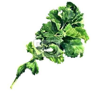 Bouquet, frais, vert, kale, feuille, légume, isolé, aquarelle, Illustration