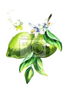 Branche de citron vert frais isolé sur fond blanc. Illustration aquarelle dessinés à la main