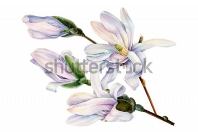 Sticker branche de fleurs de magnolia de printemps sur fond blanc isolé, illustration aquarelle, peinture botanique