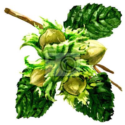 Branche de noisette fraîche, noisettes et feuilles isolées, illustration aquarelle sur blanc