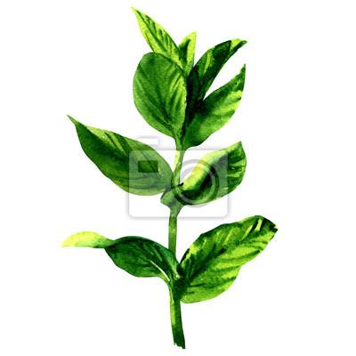 Branche, frais, cru, menthe, feuilles, isolé, aquarelle, Illustration, blanc