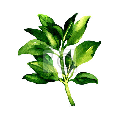 Branche, frais, geen, basilic, feuilles, isolé, aquarelle, Illustration, blanc