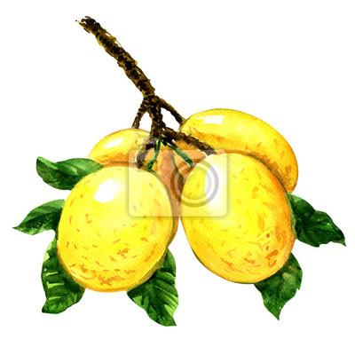 Branche, marula, fruit, feuilles, isolé, aquarelle, Illustration