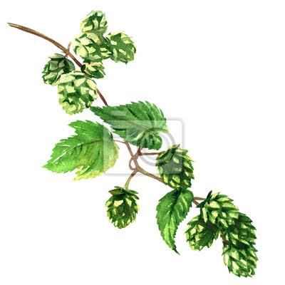 Branche, vert, houblon, feuilles, plante, isolé, aquarelle, Illustration