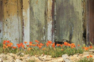 Sticker Bright orange coppes de Californie croissant le long d'une clôture en bois vieilli.