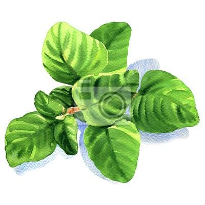 Brindille, frais, origan, feuilles, isolé, aquarelle, Illustration