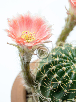 Cactus En Gros Plan Avec Une Fleur Rose Dans Un Pot Isole Sur