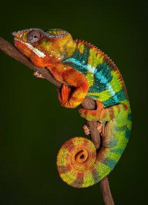 Sticker Chameleon Panther au repos