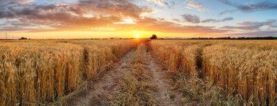 Sticker Champ de blé au coucher du soleil, panorama