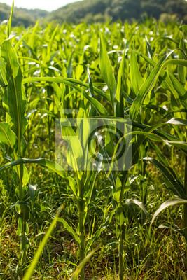 Champ de maïs vert