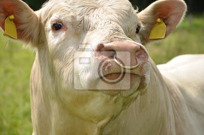 bas prix Braderie les ventes en gros Sticker: Charolais taureau avec anneau dans le nez