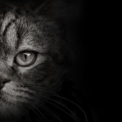 Sticker Chat sombre chat gros plan. vue de face