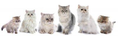 Sticker Chats persans de famille