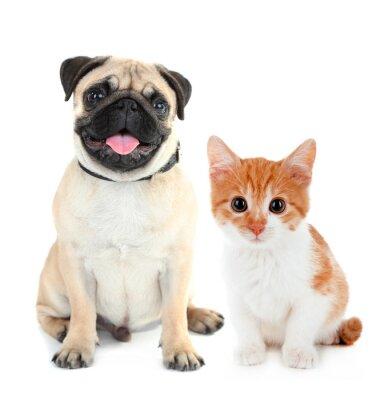 Sticker Chien carlin drôle et petit chaton rouge isolé sur blanc