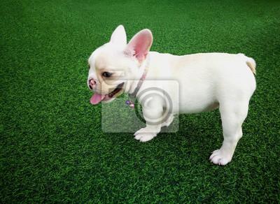 chien de bouledogue fran ais brun blanc debout sur une herbe stickers pc portable autocollants. Black Bedroom Furniture Sets. Home Design Ideas