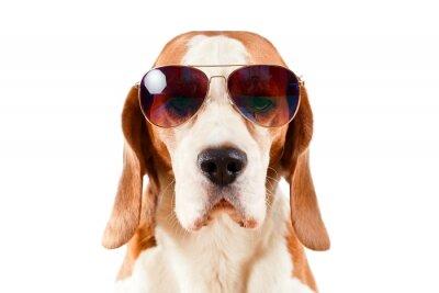Sticker chien sentinelle des lunettes de soleil sur blanc