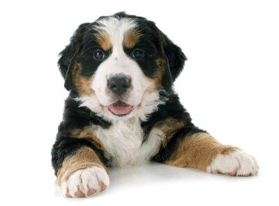 Sticker chiot bernois montagne chien