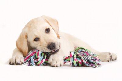Sticker Chiot Labrador mordre dans un jouet coloré