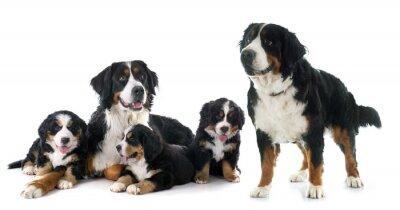 Sticker Chiots et adultes bernese moutain chien