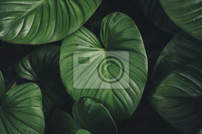 Sticker Close up tropical nature green leaf caladium texture background.