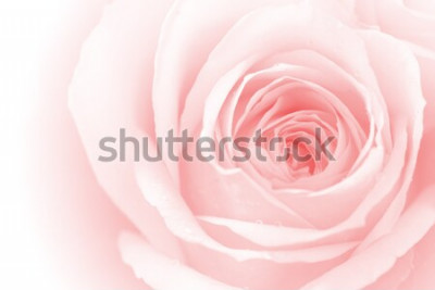 Sticker closeup coloré pétales de rose pour le fond