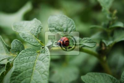 Colorado bug manger la pomme de terre