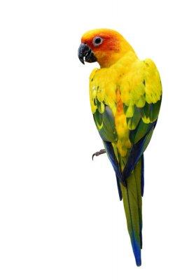 Sticker Colorful Sun Conure, l'o bel oiseau perroquet jaune isolé