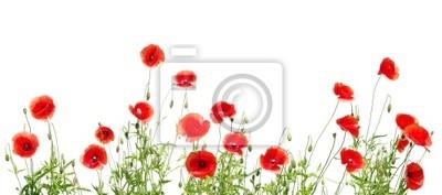 coquelicots rouges sur fond blanc