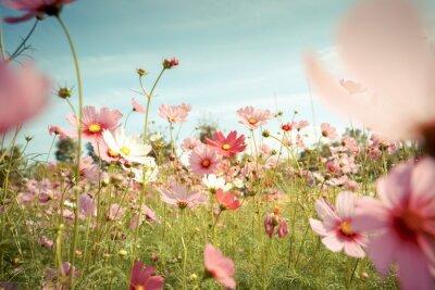 Sticker Cosmos, fleur, fleur, jardin