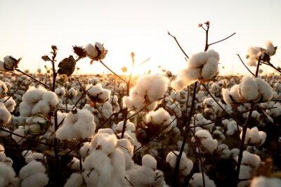 Sticker cotton buds in the field