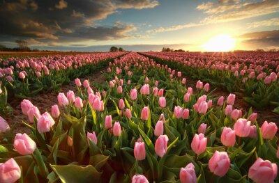 Sticker Coucher de soleil sur le champ de tulipe rose