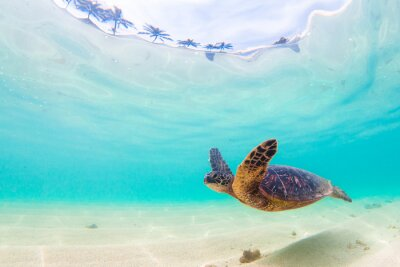 Sticker Croisières de la tortue vertébrale hawaïenne en voie de disparition dans les eaux chaudes de l'océan Pacifique à Hawaii