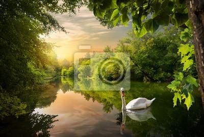 Cygne blanc sur un étang