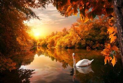 Cygne sur l'étang d'automne