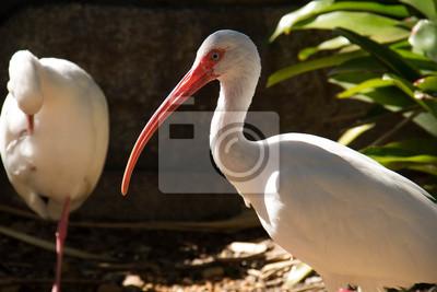Deux, blanc, ibis, oiseaux, debout, plante, côté, Miami, Floride