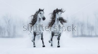 Sticker Deux chevaux espagnols de race pure, de race grise, à longs chevaux, à travers un champ enneigé