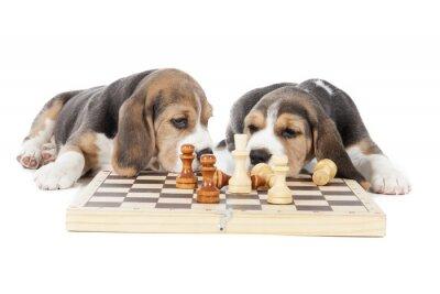 Sticker deux chiots beagle jouant aux échecs sur un fond blanc en studio